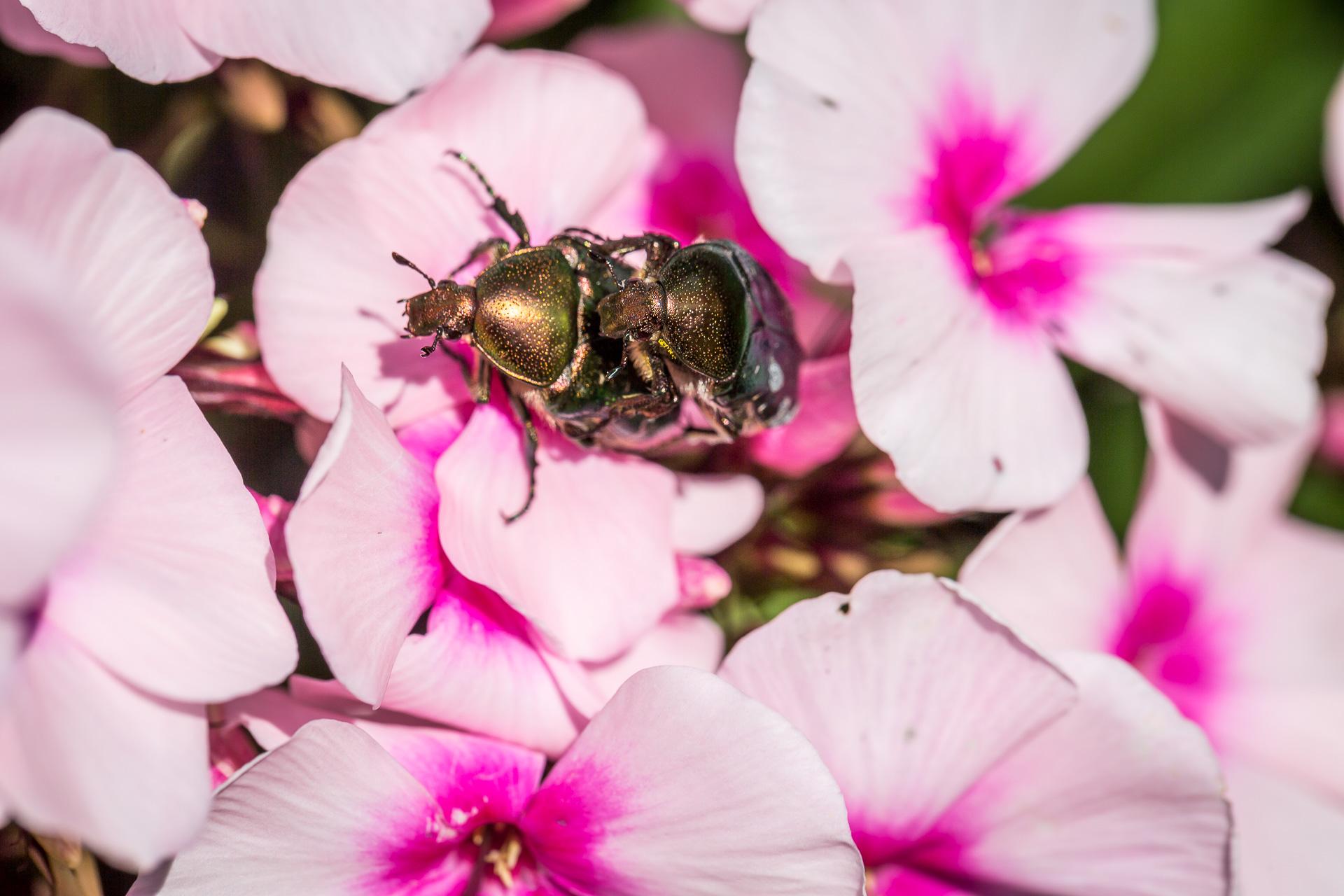 flower bug