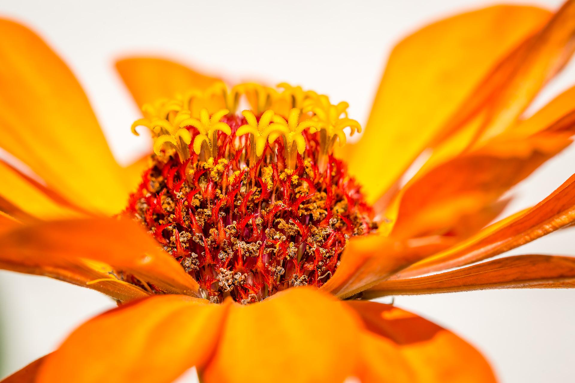 Austria flowers macro