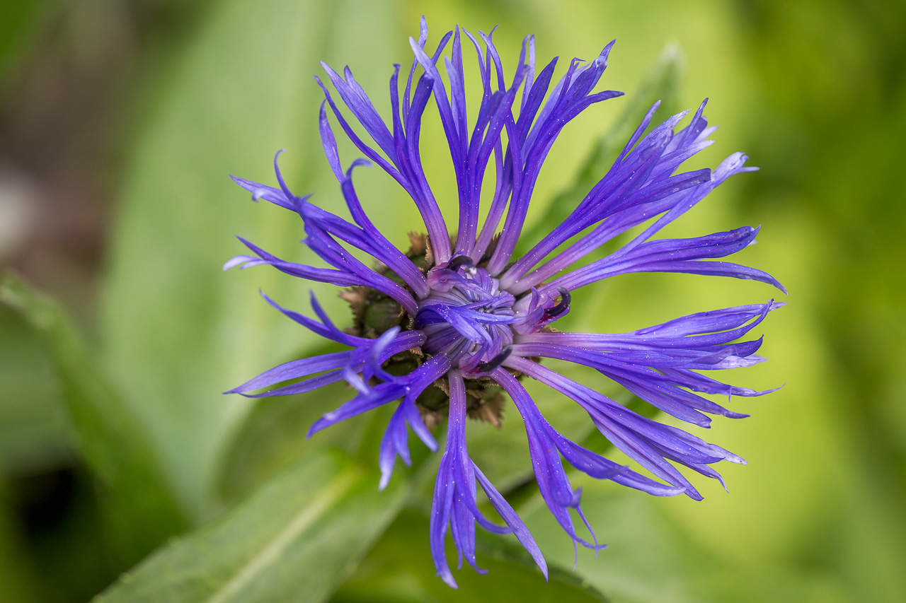 flower Korbblume cornflower
